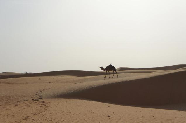 Dubai Desert Safari camel