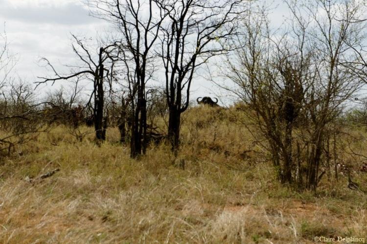 southafrica-kruger-buffalo