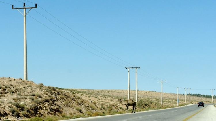 jordan-roadtrip-camel
