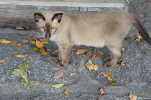 thailand-bangkok-cat