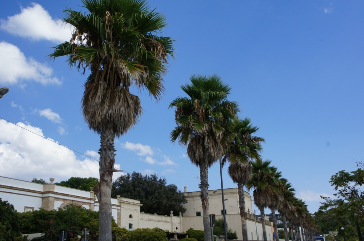 Palm trees in Leuca