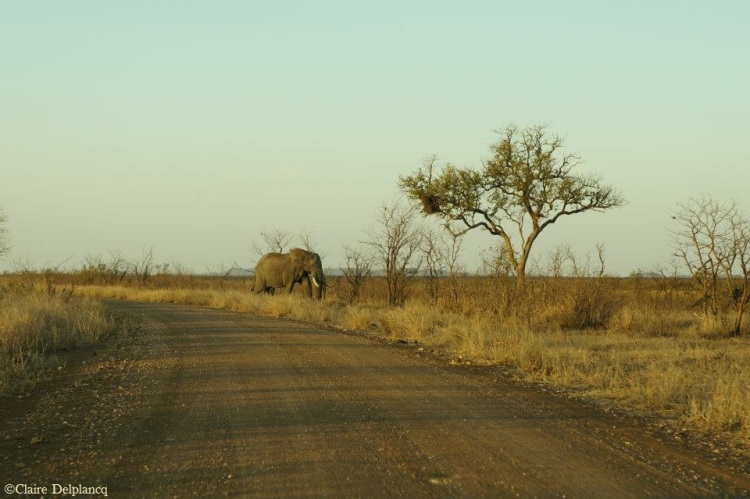 South-Africa-savanna-elephant