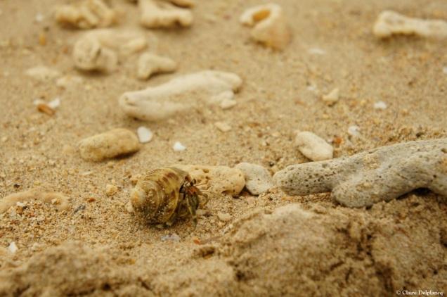 Thailand-hermit-crab