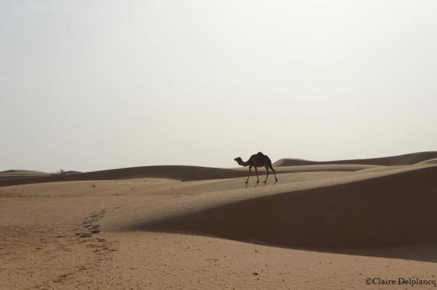 UAE-Dubai-Camel-desert