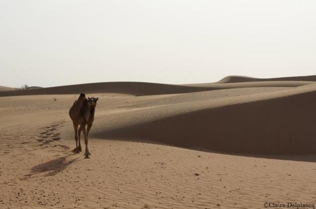 Dubai-desert-safari-camel-sunset