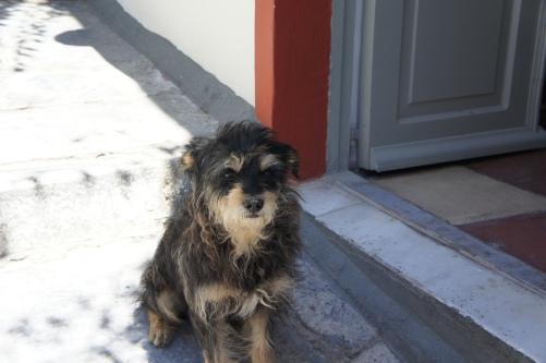 Dog Oia Santorini