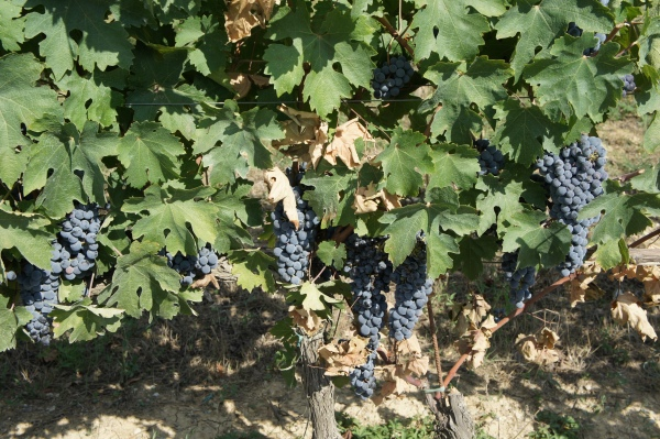 Grapes Viticcio vineyard