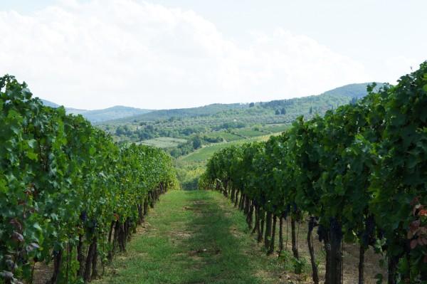 Viticcio vineyard