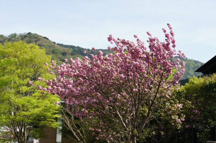 Cherry blossom in Hakone