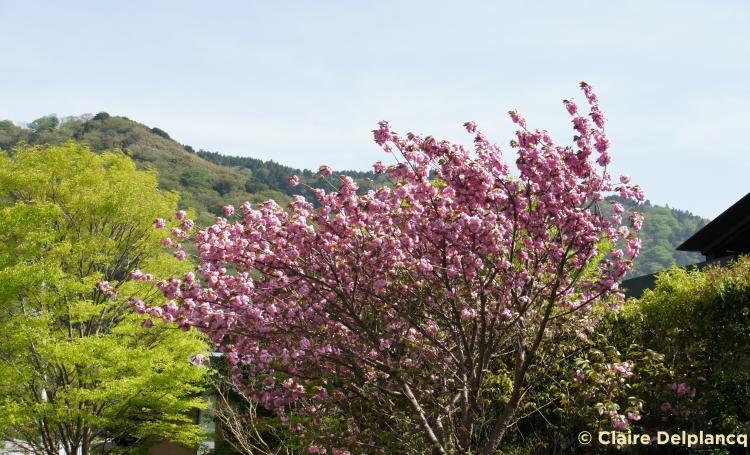 hakone-cherry-blossom1.jpg