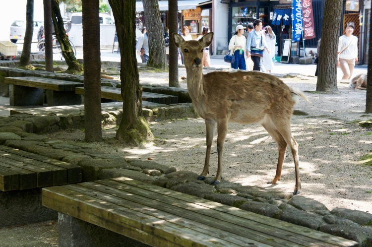 Deer in Miyajima island