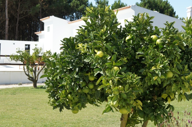 Vila Louro orange tree