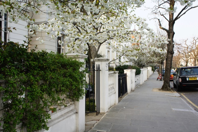Cherry blossoms in Notting Hill