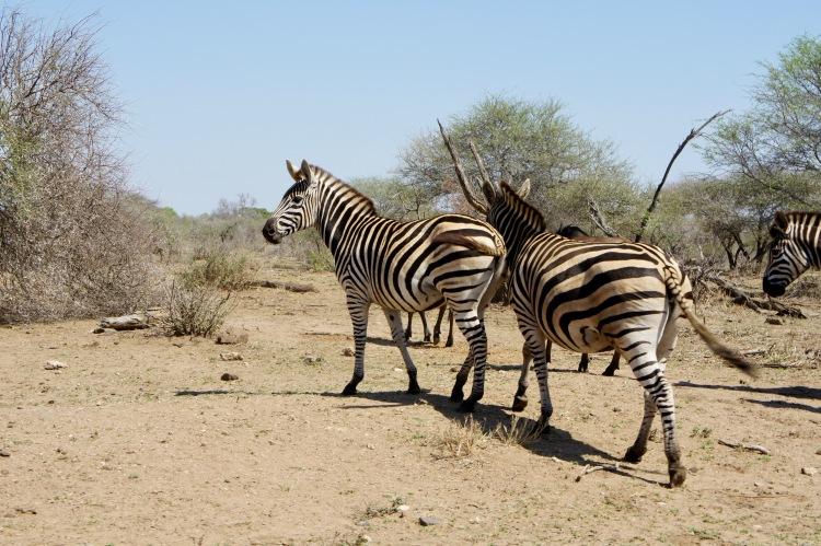 Claire Imaginarium zebras in Kruger
