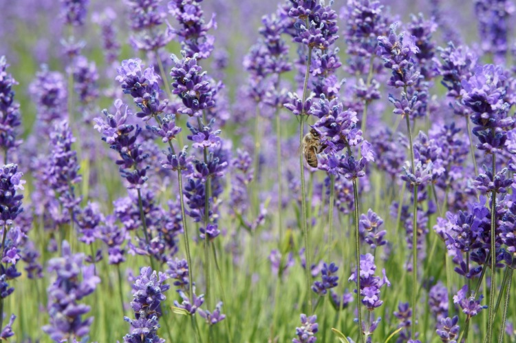 Honey bee in Mayfield Lavender