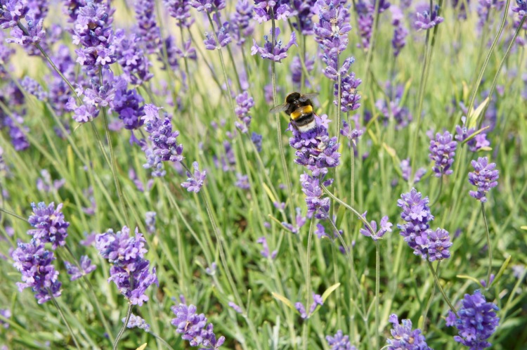 Bumble bee in Mayfield Lavender