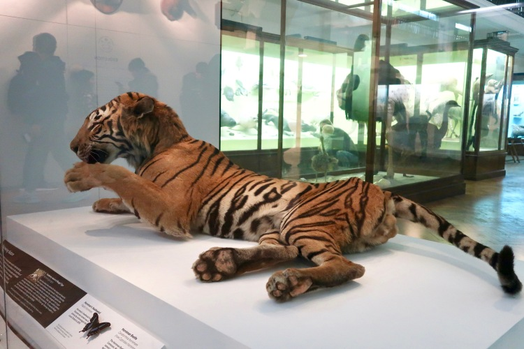 The Horniman Museum Natural History Gallery tiger